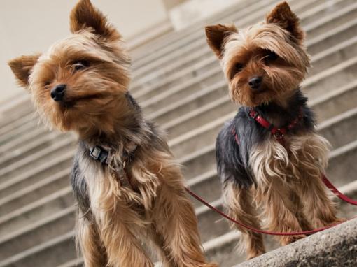 Стрижка и уход за собаками породы йоркширский терьер
